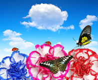 Colorful carnation flowers with butterflies Royalty Free Stock Images