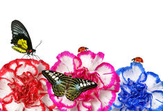 Colorful carnation flowers with butterflies Stock Images