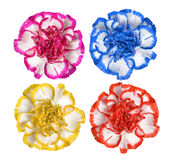 Colorful Carnation flowers Stock Photography