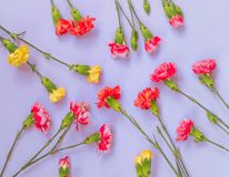 Colorful carnation flowers on light blue background. Flat lay, Top view royalty free stock photos