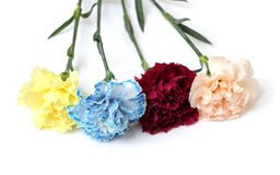 Colorful carnation royalty free stock photos