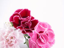 Colorful carnations Stock Photography