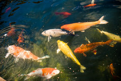 Colorful Carp Stock Image