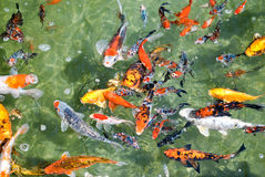 Colorful carp. In clear water Royalty Free Stock Photos