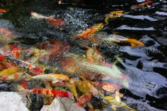 Colorful carp fish or koi fish in a pond of water royalty free stock photos