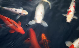 Colorful carp Royalty Free Stock Photo