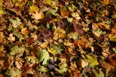 Colorful carpet. Sidewalk covered with autumn leaves in different colors royalty free stock photography