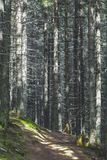 Colorful carpet. Light filtering throug a coniferous forest in the Oriental Carpathians Royalty Free Stock Images