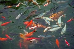 Colorful Carps Royalty Free Stock Photography