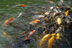 Colorful carps. Royalty Free Stock Photos