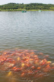 Colorful carps. In the lake Royalty Free Stock Images