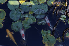 Colorful carps swam calmly. The colorful carps swam calmly in a pond Stock Image