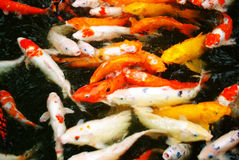 Colorful Carps Swimming In The Pond Royalty Free Stock Image