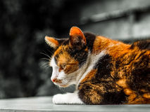 Colorful cat with black and white background Royalty Free Stock Images
