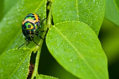 Colorful catch insects on the leaves. Colorful exotic beetles caught on the sauropus androgynus in the garden in the morning Royalty Free Stock Image