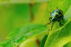 Colorful catch insects on the leaves. Colorful exotic beetles caught on the sauropus androgynus in the garden in the morning Royalty Free Stock Images