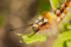 Colorful caterpillar. Colorful and hairy caterpillar feeds herself with green leaves Stock Photo