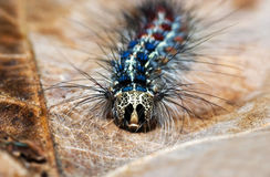 Colorful caterpillar Stock Image