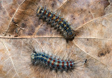 Colorful caterpillar Royalty Free Stock Photo