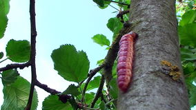 Colorful caterpillar crawling up a tree trunk stock footage