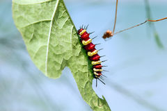 Colorful caterpillar. Eating green leaf Stock Photography