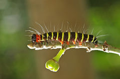 Colorful caterpillar on fig tree Stock Image