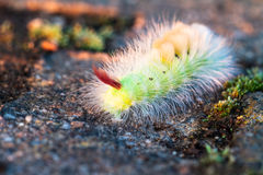 Colorful caterpillar. Stock Images