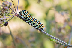 Colorful Caterpillar of Old World swallowtail on a Fennel Plant Stock Photography