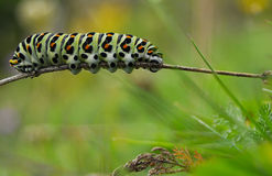 Colorful caterpillar, Papilio machaon, in natural landscape Royalty Free Stock Images