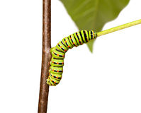 Colorful caterpillar squirm on stem. Studio shot of butterfly larva isolated on white Royalty Free Stock Photos