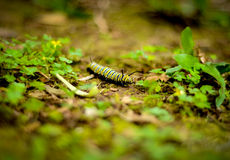 Colorful Caterpiller. A Bright Yellow And Black Caterpiller On Jungle Floor (Shallow DoF royalty free stock photography