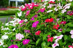 Colorful of Catharanthus roseus or Madagascar periwindkle flower. In sunny day royalty free stock photo