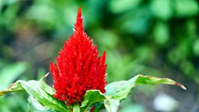 Colorful Celosia argentea on the garden. Summer in Siberia. Colorful Celosia argentea on the garden. natural background. Tomsk Royalty Free Stock Photo