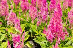 Colorful celosia flower Stock Photos