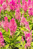 Colorful celosia flower Stock Image