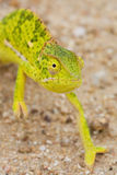 Colorful chameleon Stock Image