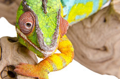 Colorful chameleon (3). Colorful chameleon close up on over white background Royalty Free Stock Photo