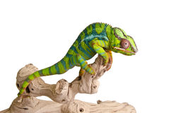Colorful chameleon (5) stock photo
