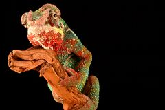 Colorful Chameleon on Black Background Stock Photo
