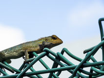 Colorful Chameleon On A Fence Stock Photos