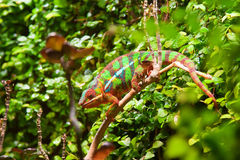 Colorful chameleon Stock Images