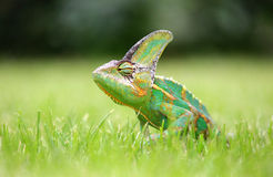 Colorful chameleon in the green grass Stock Image