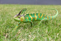 Colorful chameleon in the green grass Royalty Free Stock Photos