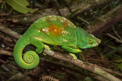 Colorful chameleon of Madagascar Royalty Free Stock Images