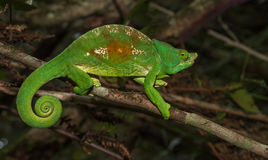 Colorful chameleon of Madagascar Stock Images