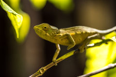Colorful chameleon of Madagascar, very shallow focus Stock Photography