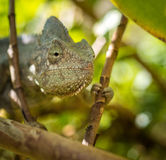 Colorful chameleon of Madagascar, very shallow focus Stock Photo