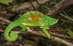 Colorful chameleon of Madagascar, very shallow focus Royalty Free Stock Photos