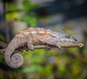 Colorful chameleon of Madagascar Stock Image