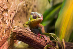 Colorful Chameleon Royalty Free Stock Image